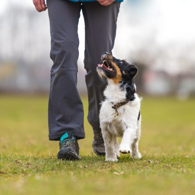 Perfect footwork with a small jack Russell terrier dog